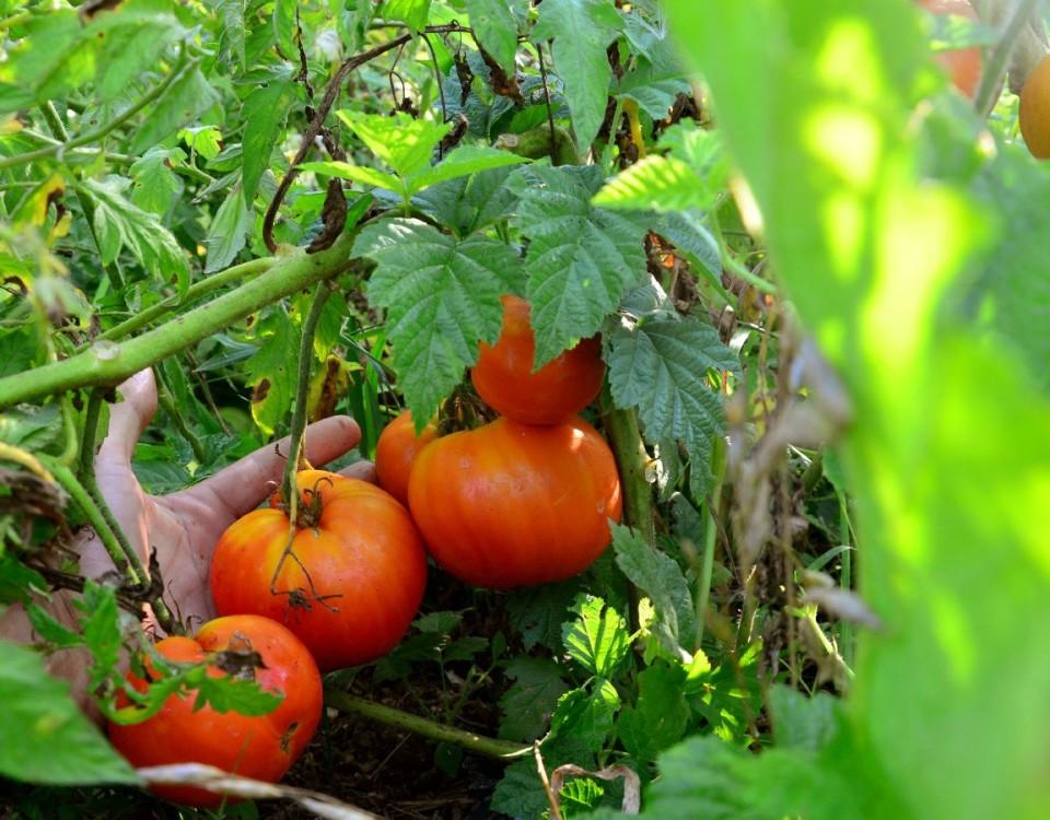 На этом кусте каждая ягодка по килограмму