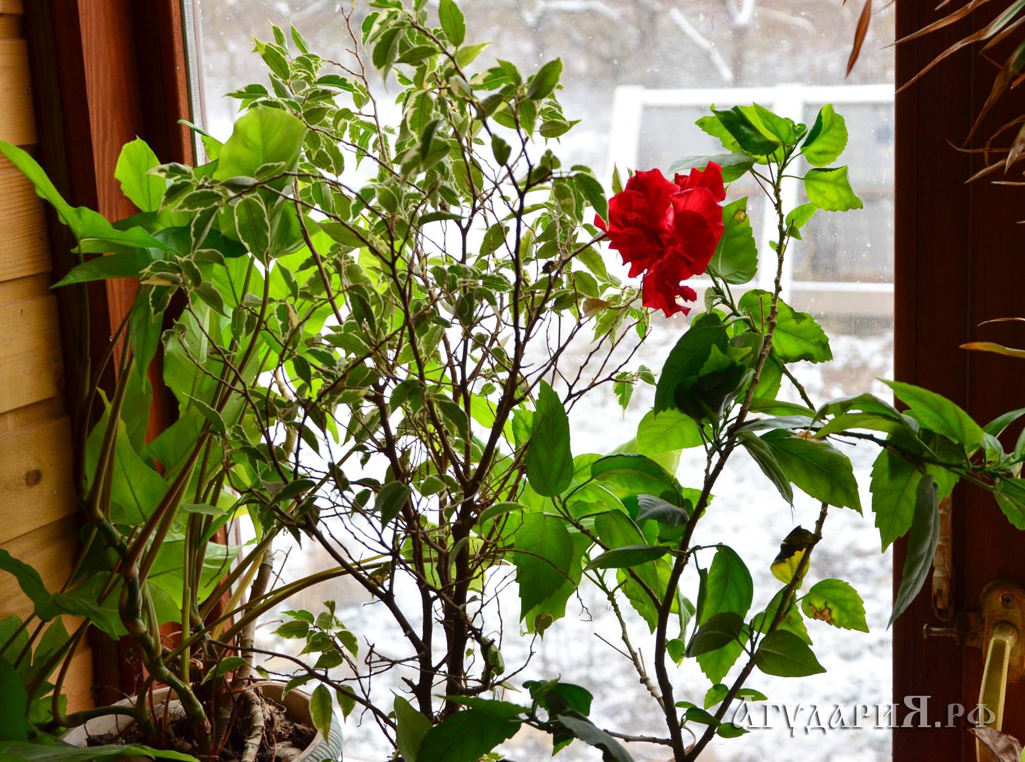 Зима, мороз, снег на улице.  А в доме на всех подоконниках цветут цветы. Поместье АгудариЯ