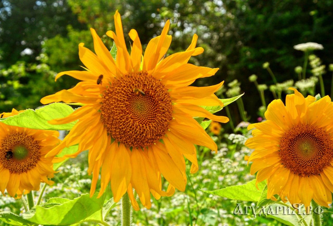 Подсолнухи летом хорошая подкормка для пчел.